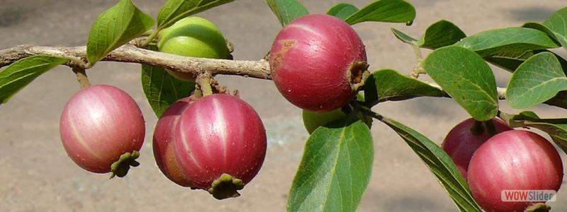 Kerala Plants Plants In Kerala Flowering Plants Of Kerala Exotic Plants In Kerala Garden Plants In Kerala Medicinal Plants In Kerala