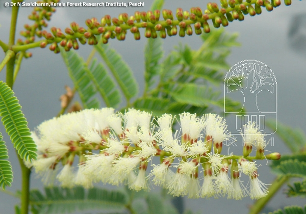 Acacia Catechu Fabaceae Leguminosae Subfam Mimosoideae Black Catechu Cutch Tree White Kutch Karingali Kadiram Cutch Tree