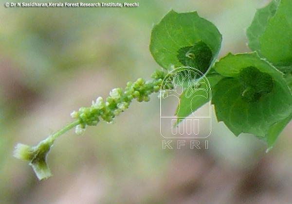 Acalypha Indica Euphorbiaceae Indian Acalypha Kuppameni