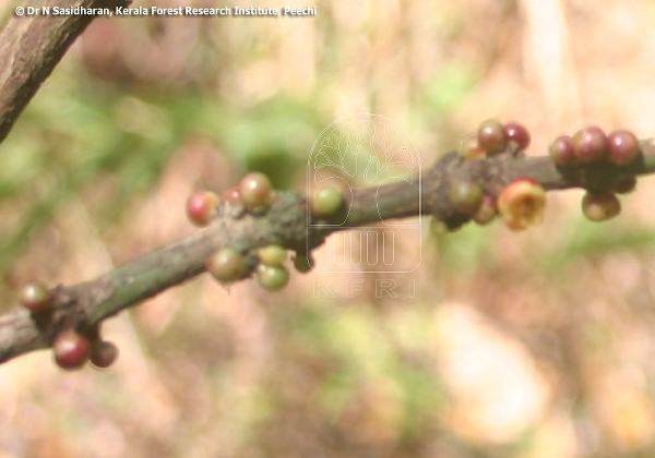 Garcinia morella (CLUSIACEAE/GUTTIFERAE) : Mysore Gamboge