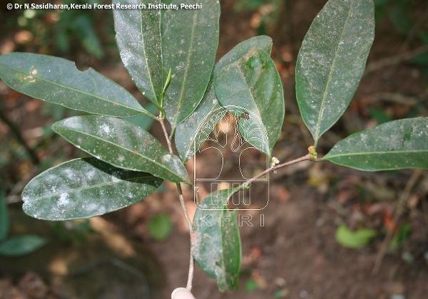 Salacia Oblonga Hippocrateaceae Ponkorandi